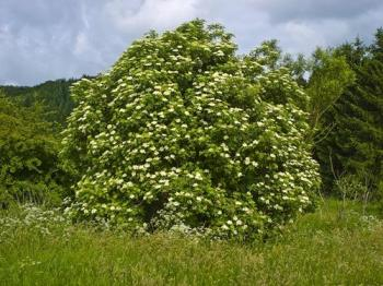 Prodotto di primavera -  Il sambuco