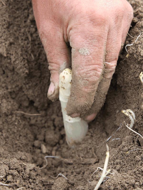 Prodotto di primavera -  L'Asparago di Zambana