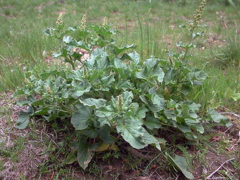 Il sosia dello spinacio: il Farinello Buon-Enrico